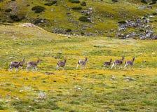 Θιβετιανά gazelles Στοκ εικόνα με δικαίωμα ελεύθερης χρήσης