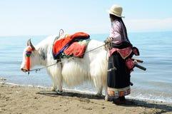 Θιβετιανή γυναίκα με άσπρα yak στοκ εικόνες με δικαίωμα ελεύθερης χρήσης