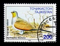 Θιβετιανή Sandgrouse (tibetana Syrrhaptes), πουλιά serie, circa 199 Στοκ Εικόνες