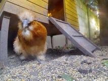 Θιβετιανό κοτόπουλο Στοκ φωτογραφία με δικαίωμα ελεύθερης χρήσης