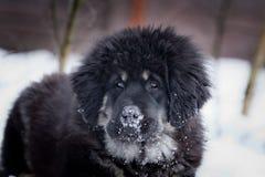 Θιβετιανό μαστήφ κουταβιών το χειμώνα, διακοπές, χιόνι στοκ εικόνες