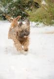 Θιβετιανό σκυλί τεριέ που τρέχει και που πηδά στο χιόνι Στοκ φωτογραφία με δικαίωμα ελεύθερης χρήσης