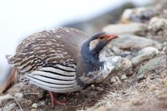 Θιβετιανό Snowcock, εθνικό πάρκο Sagarmata, Solu Khumbu, Νεπάλ στοκ φωτογραφίες με δικαίωμα ελεύθερης χρήσης