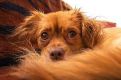 Θλίψη σκυλιών Στοκ φωτογραφία με δικαίωμα ελεύθερης χρήσης