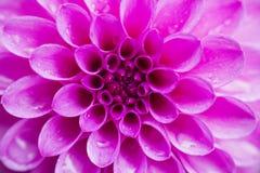 Θολωμένη ντάλια λουλουδιών υποβάθρου ρόδινη Στοκ εικόνα με δικαίωμα ελεύθερης χρήσης