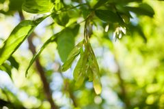 Θολωμένο άνοιξη υπόβαθρο με τη μαλακή εστίαση με τα φύλλα και την κλήθρα Στοκ Εικόνες