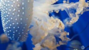 Θολωμένο υπόβαθρο της μέδουσας στο μπλε νερό Στοκ Φωτογραφία