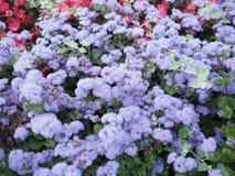 Θολωμένο υπόβαθρο του πορφυρού και κόκκινου λουλουδιού στον κήπο, κορυφή β στοκ εικόνες με δικαίωμα ελεύθερης χρήσης