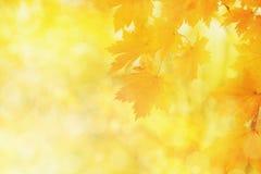 Θολωμένο υπόβαθρο φθινοπώρου φύσης, κίτρινα φύλλα σφενδάμου στοκ φωτογραφία