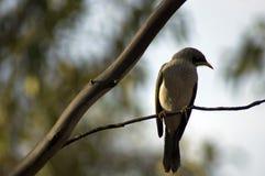 Θορυβώδης ανθρακωρύχος, Wilpena, SA, Αυστραλία στοκ φωτογραφία με δικαίωμα ελεύθερης χρήσης