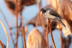 Θορυβώδες πουλί στα βραχιόλια περισφυρίων στοκ εικόνες