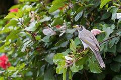 Θορυβώδης ανθρακωρύχος, honeyeater πουλί που σκαρφαλώνει Hibiscus στον κλάδο στοκ εικόνα