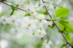 Θολωμένα άσπρα λουλούδια κερασιών Στοκ εικόνα με δικαίωμα ελεύθερης χρήσης