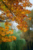 Θολωμένα πορτοκαλιά φύλλα σφενδάμου Στοκ εικόνες με δικαίωμα ελεύθερης χρήσης