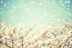 Θολωμένοι άνθη και μπλε ουρανός κερασιών με την πτώση χιονιού Στοκ Φωτογραφία