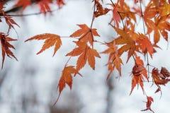 Θολωμένο δέντρο υπόβαθρο φθινοπώρου φύλλων σφενδάμου Στοκ Φωτογραφία
