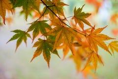 Θολωμένο δέντρο υπόβαθρο φθινοπώρου φύλλων σφενδάμου Στοκ Φωτογραφίες