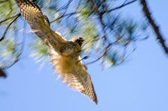 Θολωμένο κατά την πτήση αρπακτικό πτηνό που πιάνει το θήραμα Στοκ εικόνα με δικαίωμα ελεύθερης χρήσης