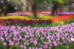 Θολωμένο λουλούδι τουλιπών στον κήπο τη θερινή ημέρα στοκ εικόνα