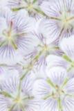 Θολωμένο υπόβαθρο των άσπρων λουλουδιών Στοκ Εικόνες