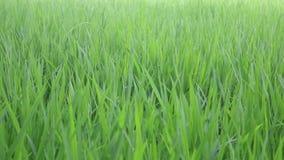 Θυελλώδες πράσινο βίντεο κινηματογραφήσεων σε πρώτο πλάνο τομέων ρυζιού απόθεμα βίντεο