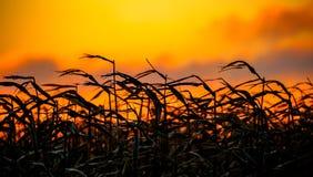 Θυελλώδες καλαμπόκι στο ηλιοβασίλεμα Στοκ Φωτογραφίες