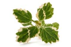 Θυμίαμα Plectranthus coleoides Στοκ Εικόνες