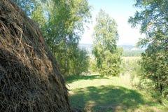 Θυμωνιά χόρτου στην κοπή σε ένα άλσος σημύδων Στοκ εικόνα με δικαίωμα ελεύθερης χρήσης
