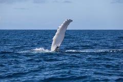 Θωρακικά πτερύγια φαλαινών Στοκ φωτογραφία με δικαίωμα ελεύθερης χρήσης