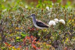 Θωρακικό μπεκατσίνι tundra taimyr στοκ εικόνα με δικαίωμα ελεύθερης χρήσης