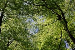 Θόλος δέντρων οξιών την άνοιξη Στοκ Φωτογραφία