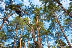 Θόλος δέντρων σκωτσέζικων πεύκων με το μπλε ουρανό στοκ εικόνες