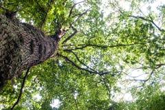Θόλος δέντρων Στοκ Φωτογραφίες