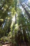 Θόλος Redwood Στοκ εικόνα με δικαίωμα ελεύθερης χρήσης