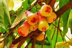 Ιάβα Apple στο δέντρο Στοκ φωτογραφία με δικαίωμα ελεύθερης χρήσης