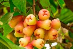 Ιάβα Apple στο δέντρο Στοκ Εικόνες