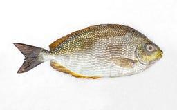 Ιάβα rabbitfish Στοκ εικόνες με δικαίωμα ελεύθερης χρήσης