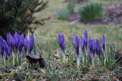 διάνυσμα άνοιξη χιονιού απεικόνισης λουλουδιών λουλουδιών κρόκων πρώτο Στοκ φωτογραφία με δικαίωμα ελεύθερης χρήσης