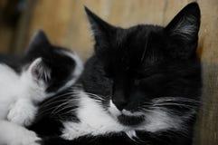 διάνυσμα γατακιών απεικόνισης γατών Στοκ Φωτογραφίες