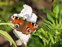 διάνυσμα εντόμων απεικόνισης πεταλούδων peacock Στοκ Εικόνα