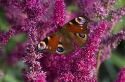 διάνυσμα εντόμων απεικόνισης πεταλούδων peacock Στοκ Φωτογραφίες