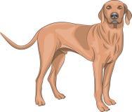 διάνυσμα backgrounds dog hunting labrador white yellow Στοκ Εικόνες