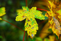 Διάστικτο φύλλο σφενδάμου στην πτώση Στοκ Εικόνες
