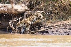Ιαγουάρος από Pantanal, Βραζιλία Στοκ Εικόνες