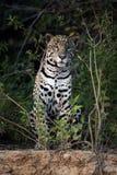 Ιαγουάρος, onca Panthera Στοκ φωτογραφίες με δικαίωμα ελεύθερης χρήσης