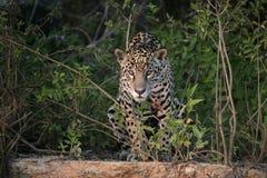 Ιαγουάρος, onca Panthera Στοκ Φωτογραφία