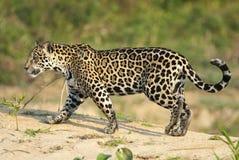 Ιαγουάρος, onca Panthera Στοκ φωτογραφία με δικαίωμα ελεύθερης χρήσης