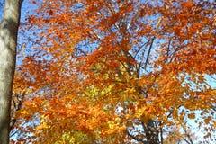 διαθέσιμο διάνυσμα δέντρων απεικόνισης φθινοπώρου Στοκ Εικόνα