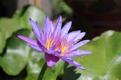 διακοσμήστε τον ελεύθερο χρόνο κήπων φαίνεται λίμνη λωτού τα λουλούδια λωτού στη λίμνη είναι στην πλήρη άνθιση στοκ φωτογραφία