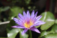 διακοσμήστε τον ελεύθερο χρόνο κήπων φαίνεται λίμνη λωτού τα λουλούδια λωτού στη λίμνη είναι στην πλήρη άνθιση στοκ φωτογραφία με δικαίωμα ελεύθερης χρήσης